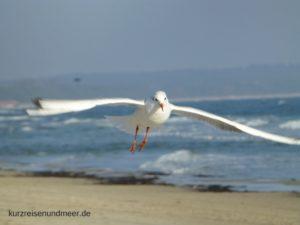Das Bild zeigt eine Möwe am Strand von Binz auf Rügen