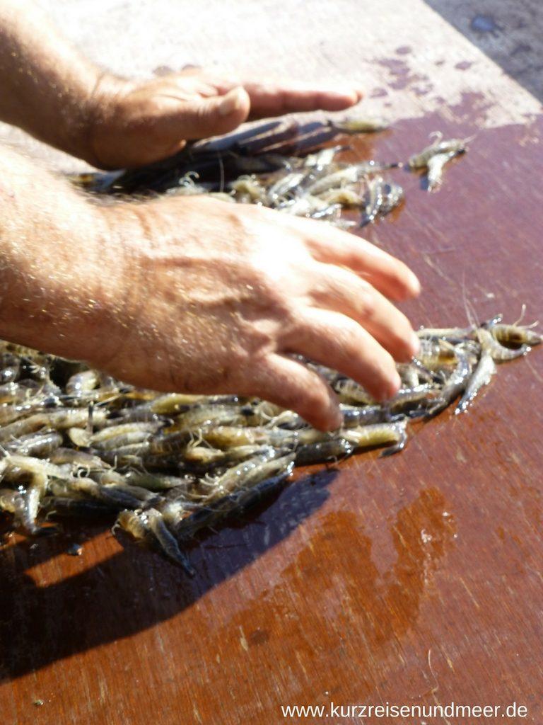 Kleinere Fische werden aussortiert bis nur noch die Nordseekrabben übrig bleiben.