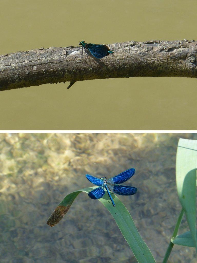 Oben eine Blauflügel-Prachtlibelle aufgenommen im Murnauer Moos an der Ramsach, unten ebenfalls eine Blauflügel-Prachtlibelle mit geöffneten Flügeln, die ich 2014 im Schlaubetal aufgenommen habe.