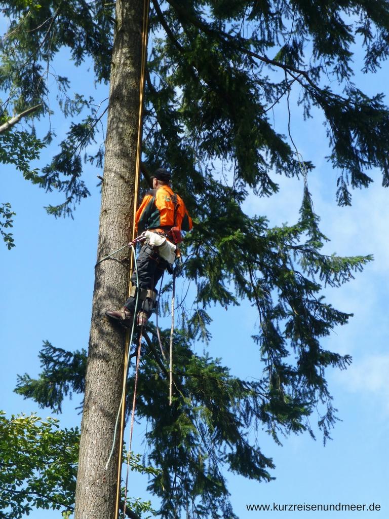 Hast Du schon einmal einen Zapfenpflücker gesehen? Mit Steigeisen an den Füßen und gesichert durch viele Seile, hangelt sich ein Mann mit der Hilfe eines Seils an einem Baum hoch.