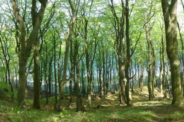 Blick durch den Buchenwald im Nationalpark Jasmund auf die Ostsee