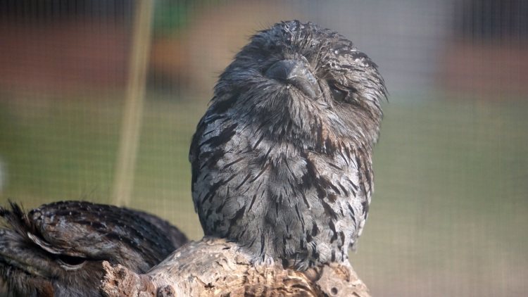 Ein blinder Tawny Frogmouth