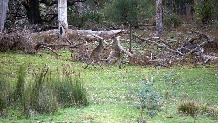 Kämpfende Känguru-Männchen
