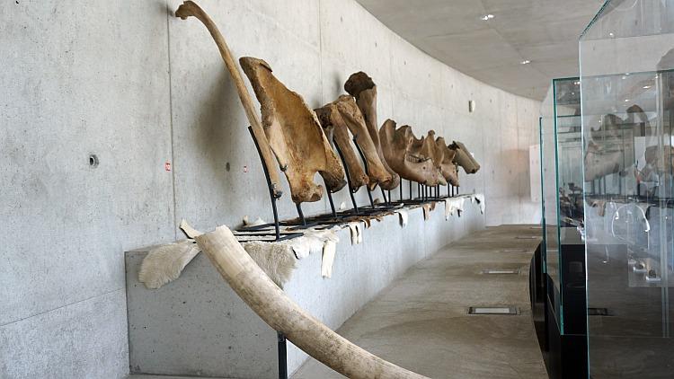Mammutknochen in der Sonderausstellung im Archäopark Vogelherd
